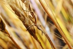 Ragno in un agguato sull'orecchio del frumento Fotografia Stock