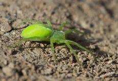 Ragno verde che si siede sulla terra. Fotografia Stock Libera da Diritti