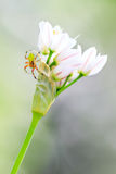 Ragno verde del cetriolo Immagine Stock Libera da Diritti