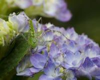 Ragno verde del lince Immagine Stock