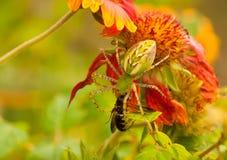 Ragno verde del lince Fotografia Stock