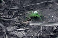 Ragno verde e bianco nero Fotografie Stock Libere da Diritti