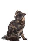 Ragondin du Maine, chat de tabby noir Photographie stock