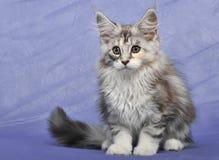 Ragondin du Maine de chaton Image libre de droits