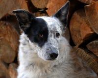 Rags il cane della mucca Fotografia Stock