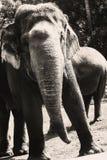 Black and white image of Sumatra Elephant at Ragunan Zoo, Jakarta, Indonesia. stock photography