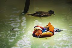 Colorful Mandarin Duck with his mate, swimming on the pond. Ragunan Zoo, Jakarta, Indonesia. stock photography