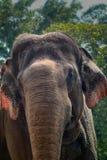 Headshot of an Sumatra Elephant at Ragunan Zoo, Jakarta, Indonesia. stock photo