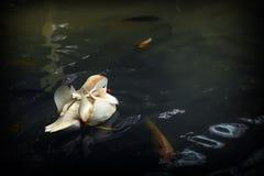 White Mandarin Duck, swimming alone on the pond. Ragunan Zoo, Jakarta, Indonesia. stock photos