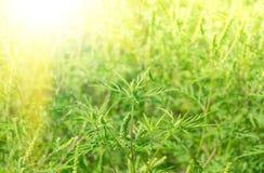 Ragweed зеленой травы стоковые фото