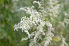 Ragweed Stock Photography