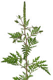 Ragweed Stock Image