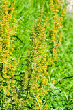 Ragweed Immagine Stock