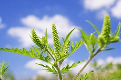 Ragweed Fotografia Stock