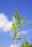 Ragweed Stock Photos