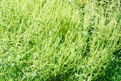 Ragweed bepflanzt Hintergrund mit Büschen Lizenzfreie Stockfotos