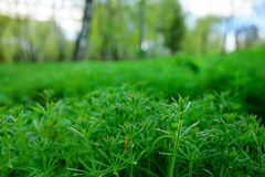 Ragweed comum do americano, artemisiifolia do ambrosia, causando a alergia foto de stock royalty free