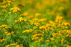 Ragweed Flowers Stock Photography
