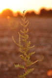 Ragweed Royalty Free Stock Photography