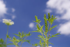 Ragweed nos coluds Foto de Stock Royalty Free