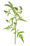 Ragweed plant Stock Photos