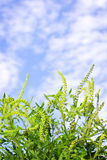 Ragweed plant Royalty Free Stock Photography