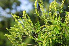 Ragweed plant Royalty Free Stock Photo