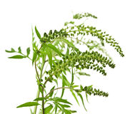 Ragweed plant Stock Image
