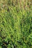 Ragweed plants Royalty Free Stock Photo