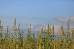 Ragweed rośliny Zdjęcie Stock