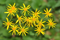 Ragwort Photographie stock