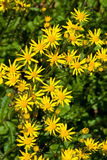 Ragwort Royalty Free Stock Photos