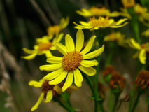 Ragwort. Wild Ragwort Stock Photos