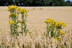 Ragwort auf einem Gebiet des Weizens Lizenzfreie Stockbilder