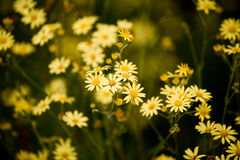 Ragwort blanchi Image libre de droits