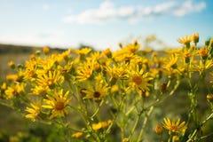 ragwort Estreito-com folhas (Senecio Inaequidens) Close-up do amarelo imagem de stock royalty free