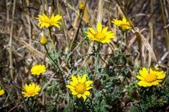 Ragwort Fields навсегда Стоковая Фотография