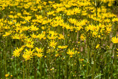 Ragwort flowers Stock Image