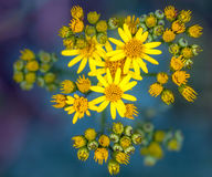 Ragwort on green and purple background Royalty Free Stock Photos