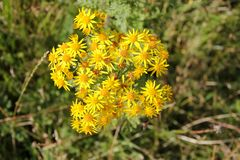 Ragwort, the plant that kills. stock photography