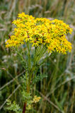 Ragwort wildflower Royalty Free Stock Image