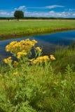 Ragwortblume nahe einem Abzugsgraben in der Landschaft Stockfotografie
