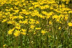 Ragwortblumen Stockbild