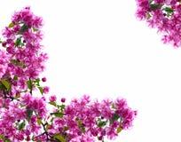 Rahmen von den Zweigen des blühenden Apfelbaums Stockfotos
