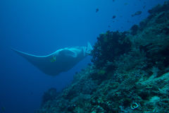 Raia de manta gigante Fotografia de Stock
