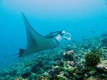 Raia de manta gigante Foto de Stock Royalty Free