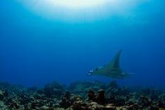 Raia de Manta no recife imagem de stock royalty free