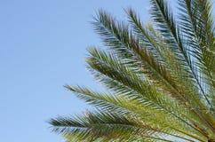 Raiant drzewko palmowe rozgałęzia się i opuszcza Obraz Stock