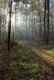 Raias de luz em uma floresta Fotos de Stock