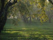 Raias de luz entre a maçã-árvore Imagem de Stock